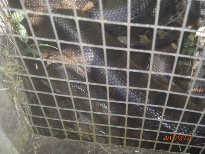 Chez l'anaconda vert, la femelle est beaucoup plus grosse que le mâle !
