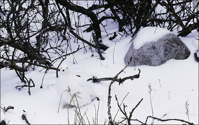 Sur cette photo, en regardant bien, on peut apercevoir un lièvre blanc !