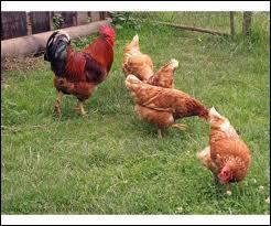 Animaux - Les poules font partie de la famille des :