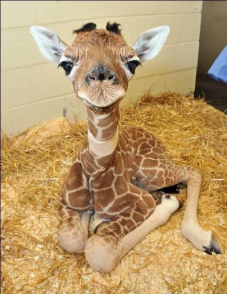 Quelle est la vitesse d'un girafe ?