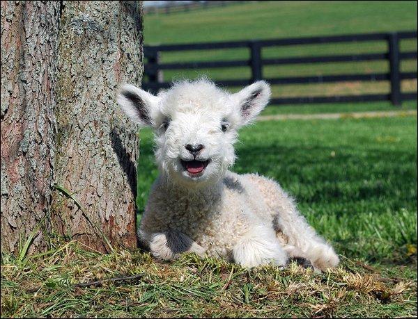 Comment appelle-t-on le moment où l'agneau naît ?