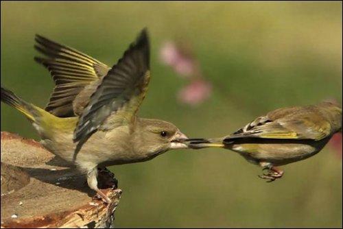 Non, reste ici ! Quel est le poids maximal pour un oiseau ?