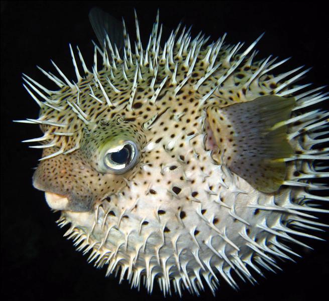 Quel est cet animal, appelé aussi  diodon  ?