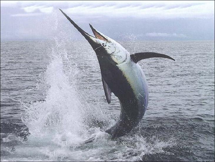 Quel est cet animal, appelé aussi  poisson-épée  ?