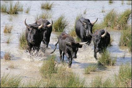 Comment appelait-on la troupe de taureaux ou de chevaux élevée en semi-liberté en Camargue ?
