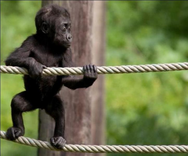 Ce bébé gorille est devenu grand : on n'a jamais su si Jean-François était un copain ou un coopérateur !