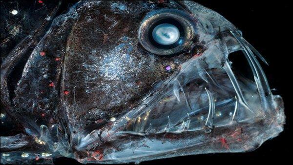 Le poisson-vipère vit tellement dans un endroit profond qu'il n'intéresse pas les scientifiques :