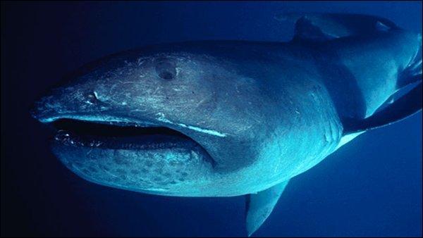 Combien de requins grande-gueule ont été recensés en 2012 ?