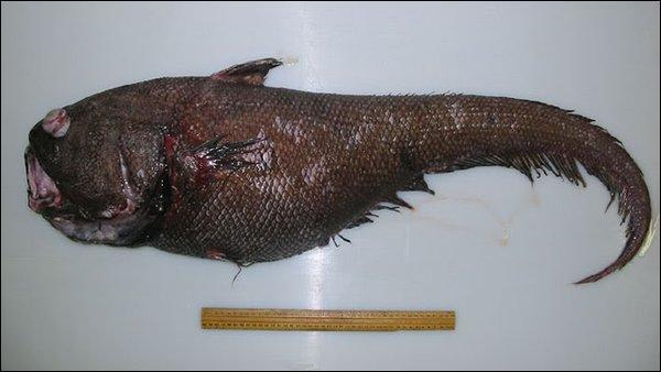 Le grenadier fait partie des poissons que l'on ne peut pas manger :