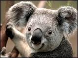 Quel est le nom de cet animal mesurant entre 60 et 85 cm de long et qui dort près de 18 heures par jour ?