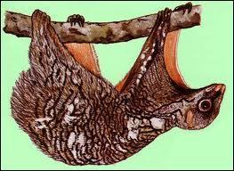 Quel est le nom de ce mammifère capable de planer sur plus de 100 mètres ?