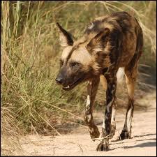 Comment se nomme ce redoutable prédateur répandu dans la savane africaine ?