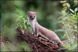 Comment se nomme cet animal très agile, qui mesure entre 20 et 35 cm de long ?