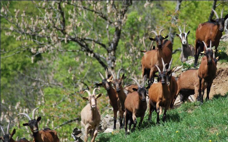 Lors d'une bataille au XVe siècle, pourquoi un seigneur albanais a-t-il fixé des bougies, une nuit, sur les cornes de milliers de chèvres ?
