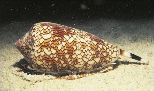 Vrai ou faux. Certaines espèces de coquillages contiennent un venin qui vous paralyse instantanément.