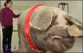 L'animal au poids le plus important connu est chinois : il pèse combien ?