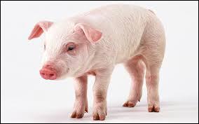 De quelle famille fait partie le porc ?