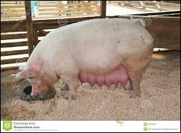 Quel est le régime alimentaire du porc ?