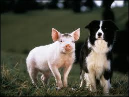 Comment s'appelle ce petit cochon de fiction, devenu berger ?
