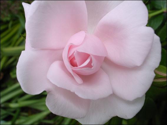 Et rose elle a vécu ce que vivent les roses . A qui doit-on cet alexandrin ?