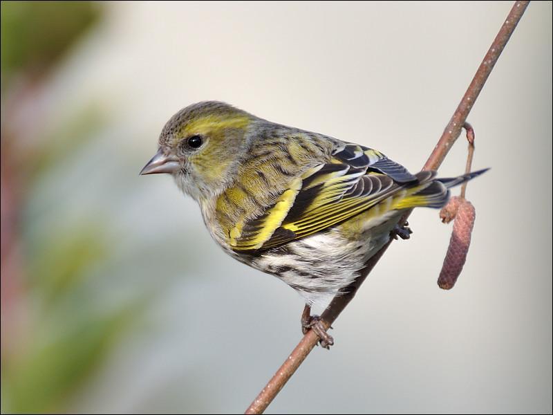 Joli petit oiseau dont le nom est semblable à celui dont Cyrano déplore la longueur.