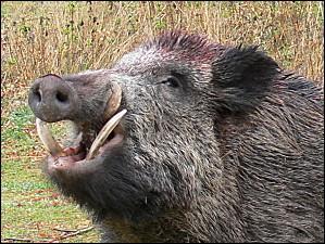 LES SANGLIERS SONT LACHES. Moi, je comprends que ces animaux manquent de courage. Que peut-on comprendre encore ?