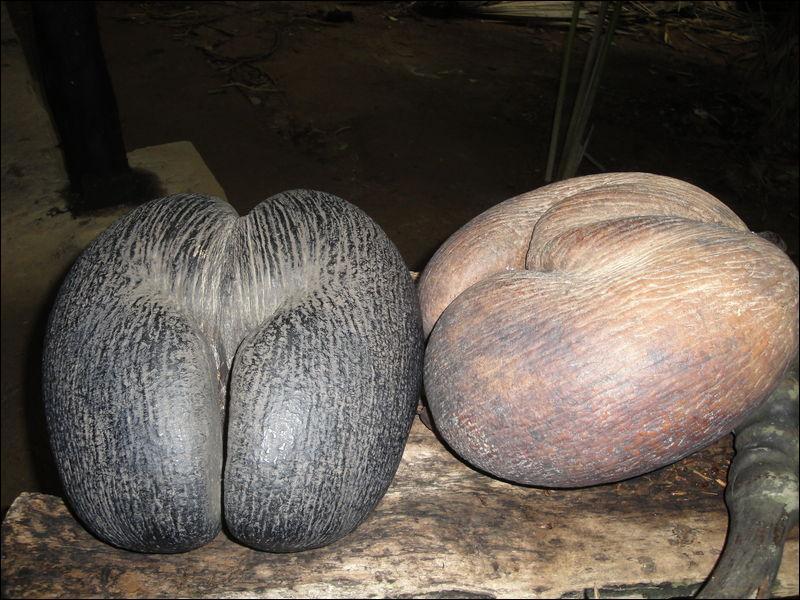 Vous les verrez aux Seychelles. La forme caractéristique leur attribue un nom évocateur :