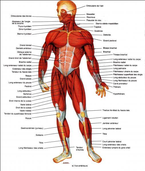 Quel est l'organe le plus musclé du corps humain ?