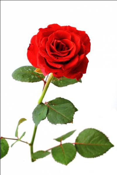 Quelle est la fleur nationale de angleterre for Vegetal en anglais