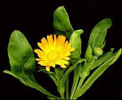 Sa floraison dure parfois toute l'année, et si vous ne savez pas répondre, ne vous faites pas de souci :