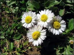 Comment s'appelle cette petite fleur qui pousse au printemps ?