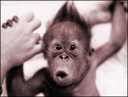 Qu'est-ce que les singes n'ont pas le droit de faire dans l'Indiana ?