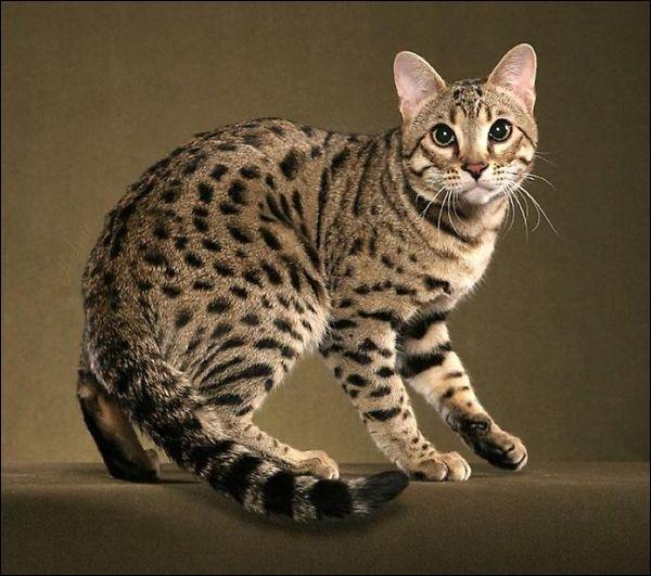 Chat hybride le plus connu, il est le résultat d'un croisement entre une chatte domestique et un Chat Léopard du Bengale mâle. C'est :