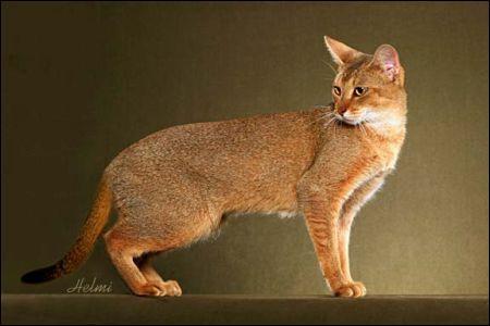 Ce chat, résultant du croisement entre une chatte domestique (Abyssin ou Oriental) et un Chaus mâle (Chat des marais ou Lynx des marais) est :