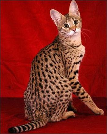 Quel est ce chat rare, résultant du croisement entre une chatte domestique (Oriental ou Ocicat) et un Serval africain mâle ?