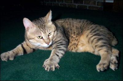 Le croisement entre une chatte domestique et un Bobcat mâle, lynx roux d'Amérique, donne naissance à ce chat à la queue courte et épaisse. La polydactylie est acceptée chez :