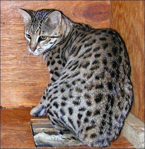Ce chat rare est issu du croisement entre un chat domestique et un Chat de Geoffroy, félin d'Amérique du Sud. C'est :