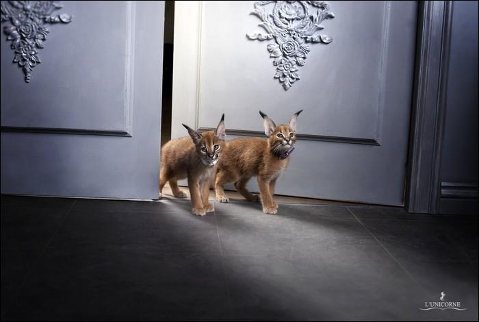 Le croisement entre une chatte domestique Abyssin et un lynx Caracal mâle donne naissance à :