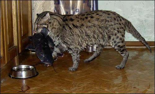 Cet hybride de chatte domestique et Chat Pêcheur ou Chat viverrin, félin de Sumatra, est récent. La plupart des mâles sont encore stériles. Ce chat de grande taille qui aime l'eau est :
