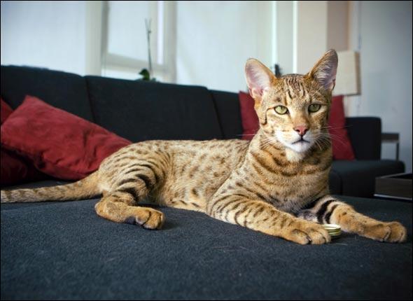 L'Asheral est une nouvelle espèce obtenue par croisement entre un chat domestique, un Léopard d'Asie et :