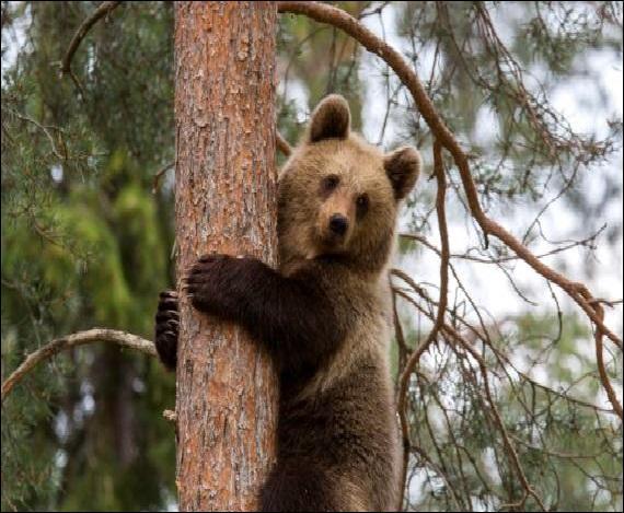 Animaux - Quelle espèce d'ours n'existe pas ?