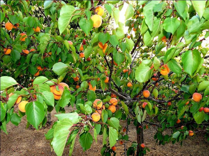 Quizz des arbres reconna tre gr ce aux jeux de mots for La taille de l abricotier