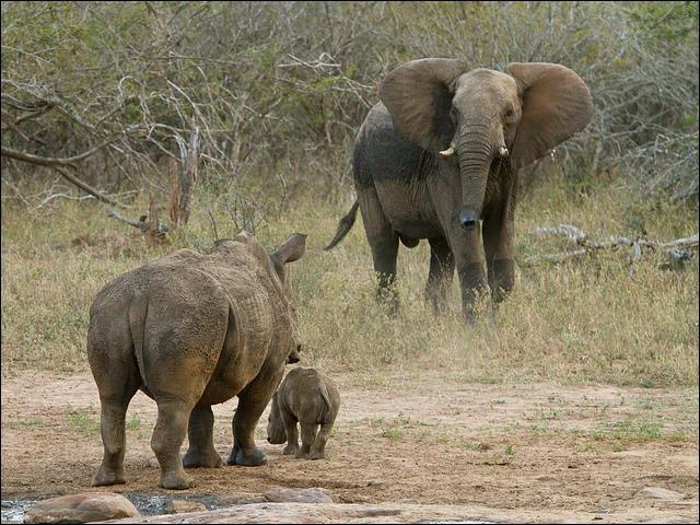 Entre l'éléphant d'Afrique et le rhinocéros blanc, qui est le plus lourd ?