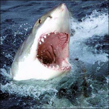 Où ce requin se sentirait-il mieux ?