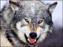 Il est mignon ce loup. Quel est son pluriel en anglais ?
