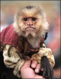 Comment se nomme le singe ?