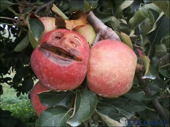 C'est l'histoire d'une pomme ! Parmi ces variétés, laquelle n'est une variété de pomme ?