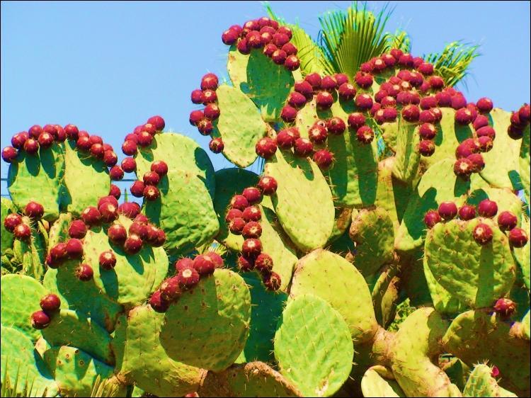 D'après la photo, quel est selon vous ce type de cactus aux fruits et aux propriétés très appréciées ?