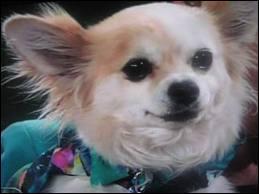 Comment s'appelle le chien de Mme Chesterfield ?
