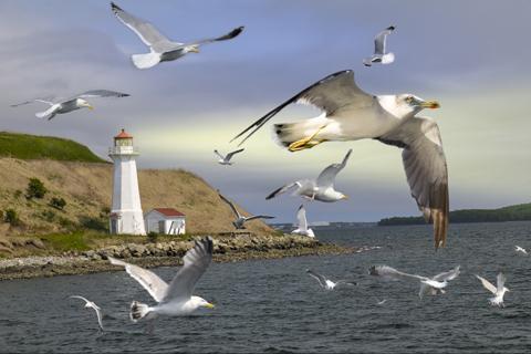 Les Oiseaux marins d'Europe